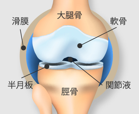 正常なひざ関節