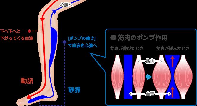 下肢静脈瘤の解説