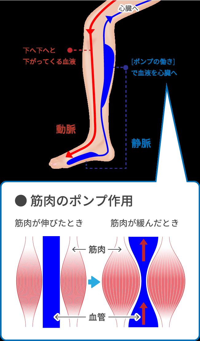 下肢静脈瘤が起こるしくみ